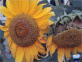 foto sonnenblume bild gedicht fotos sonnenblumen bilder lexikon gedichte helianthus annuus. Black Bedroom Furniture Sets. Home Design Ideas