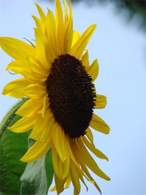 sonnenblumen blumen garten lexikon sonnenblume pflanzen l. Black Bedroom Furniture Sets. Home Design Ideas