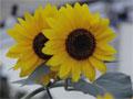 sonnenblumen blumen garten lexikon sonnenblume pflanzen l geschichte korbbl tler helianthus annuus. Black Bedroom Furniture Sets. Home Design Ideas