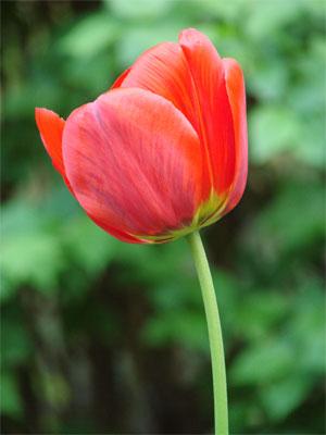 tulpen blumen garten tulpe gedichte tulipa tulpenzwiebel setzen blumenzwiebel liliengew chs. Black Bedroom Furniture Sets. Home Design Ideas